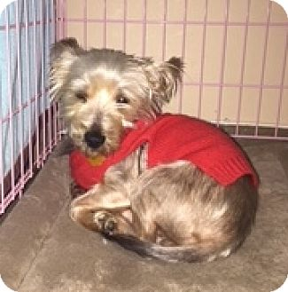 Yorkie, Yorkshire Terrier Dog for adoption in N. Babylon, New York - Kash