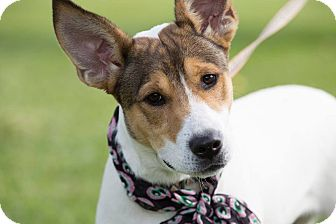 Terrier (Unknown Type, Medium) Mix Dog for adoption in Laingsburg, Michigan - Jax