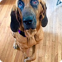 Bloodhound Mix Dog for adoption in Atlanta, Georgia - Ophelia