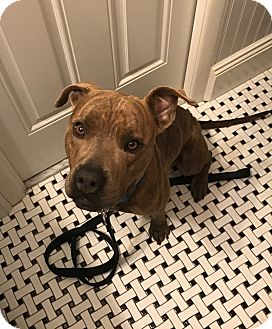Pit Bull Terrier/Boxer Mix Dog for adoption in Parsippany, New Jersey - *ADOPTION PENDING* Bruno