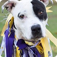 Adopt A Pet :: Holly Mae - Denver, CO