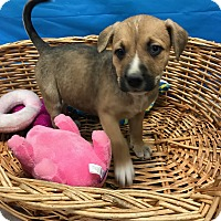 Adopt A Pet :: Bailey - Decatur, AL