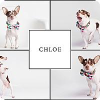 Adopt A Pet :: Chloe - Ogden, UT