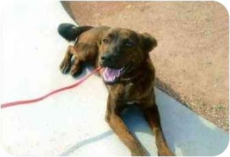 German Shepherd Dog Mix Dog for adoption in Scottsdale, Arizona - Ambrosia