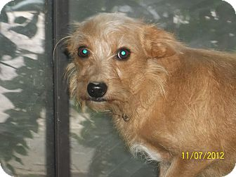 Norfolk Terrier Mix Dog for adoption in Daleville, Alabama - Charlie