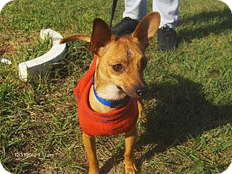 Chihuahua Mix Dog for adoption in Orange Park, Florida - Oliver