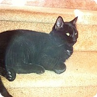 Adopt A Pet :: Mr Black - Piscataway, NJ