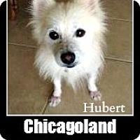 Adopt A Pet :: Hubert - Elmhurst, IL