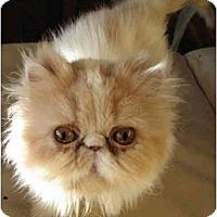 Adopt A Pet :: Princess Buttercup - Davis, CA
