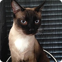 Siamese Cat for adoption in Del Rio, Texas - Lex