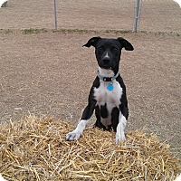 Adopt A Pet :: Veronica - Norman, OK