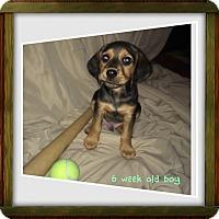 Adopt A Pet :: Sig Colburn - Lancaster, PA