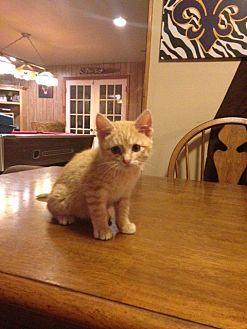 Domestic Shorthair Kitten for adoption in Baton Rouge, Louisiana - Hugo