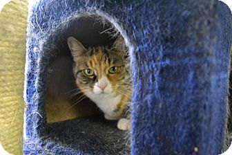 Domestic Shorthair Cat for adoption in East Smithfield, Pennsylvania - Maggie