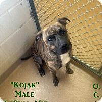 Adopt A Pet :: 1-8 Kojak - Triadelphia, WV