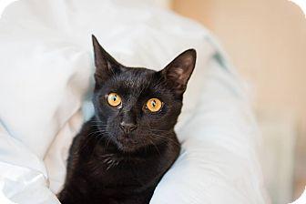 Domestic Shorthair Cat for adoption in Navarre, Florida - Luke