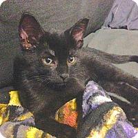 Adopt A Pet :: Misty - Toronto, ON