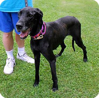 Great Dane Dog for adoption in Pearl River, New York - Teeny