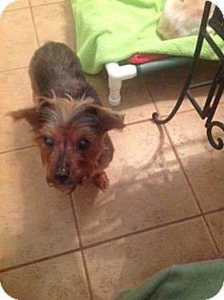 Yorkie, Yorkshire Terrier Mix Dog for adoption in Simpsonville, South Carolina - Molly-Referral