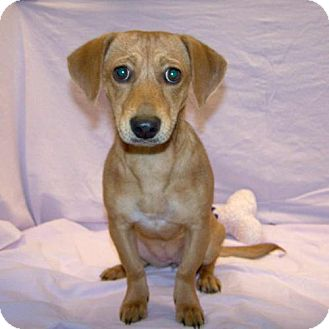 Dachshund/Jack Russell Terrier Mix Puppy for adoption in Fayetteville, Tennessee - 16-d10-002 Maggie