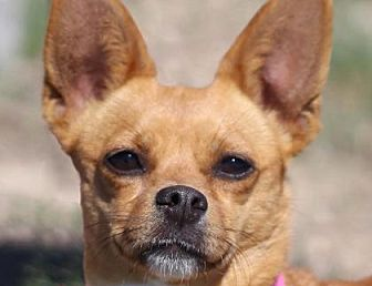 Chihuahua/Yorkie, Yorkshire Terrier Mix Dog for adoption in Colorado Springs, Colorado - Zinny