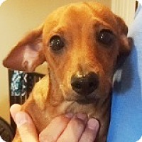 Adopt A Pet :: Ryder Redshirt - Houston, TX