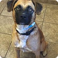 Shepherd (Unknown Type) Mix Dog for adoption in Joplin, Missouri - Sparky Vtg  110541