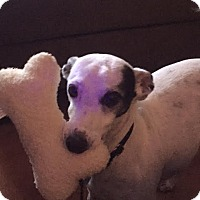 Italian Greyhound Dog for adoption in Argyle, Texas - Josh in Austin area