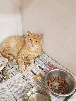 Domestic Shorthair Cat for adoption in Colfax, Illinois - Sunny