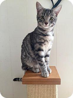 Domestic Mediumhair Kitten for adoption in Columbus, Indiana - Hestia