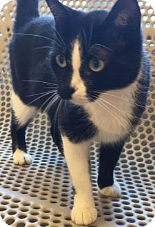 Domestic Shorthair Cat for adoption in Cumming, Georgia - Charity