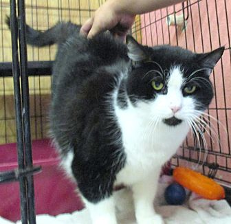 Domestic Shorthair Cat for adoption in Reeds Spring, Missouri - Pilgrim