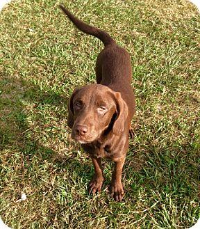 Labrador Retriever/German Shorthaired Pointer Mix Dog for adoption in New Smyrna beach, Florida - Stacey