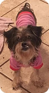 Schnauzer (Miniature) Mix Dog for adoption in Boerne, Texas - Sarah