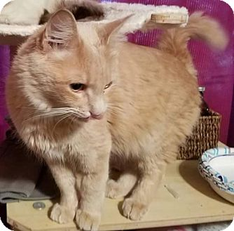 Maine Coon Cat for adoption in Ennis, Texas - Suffolk