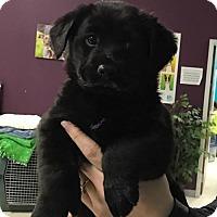 Adopt A Pet :: Violet - Maple Grove, MN
