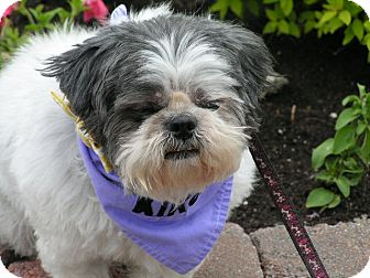 Shih Tzu Dog for adoption in Rigaud, Quebec - Cookie
