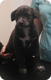 Labrador Retriever/Australian Shepherd Mix Puppy for adoption in Seneca, South Carolina - Carlie