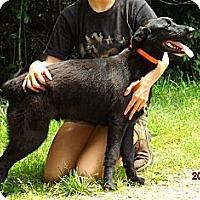 Labrador Retriever Mix Dog for adoption in Oakland, Arkansas - Barton