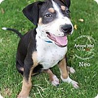 Adopt A Pet :: Neo - Gilbert, AZ