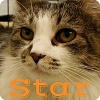 Domestic Mediumhair Cat for adoption in Grand Blanc, Michigan - Star
