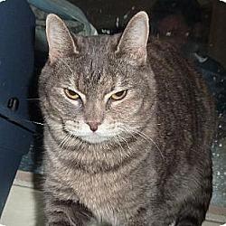 Photo 1 - Calico Cat for adoption in Phoenix, Arizona - Polly Pocket