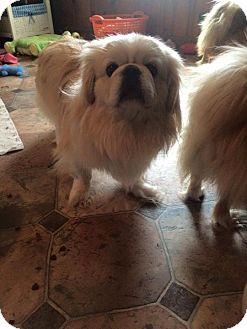 Pekingese Dog for adoption in Jennings, Oklahoma - Dino