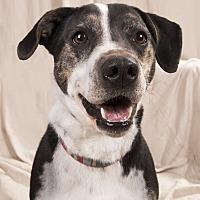 Adopt A Pet :: Boomer Bassett - St. Louis, MO