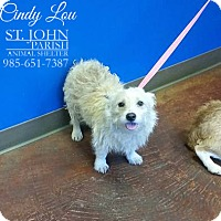Adopt A Pet :: Cindy Lou - Laplace, LA