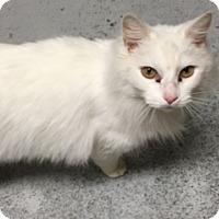 Adopt A Pet :: Snowcat - Diamond Springs, CA