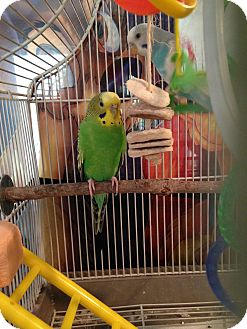 Budgie for adoption in St. Louis, Missouri - Sadie & Luna