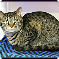 Domestic Shorthair Cat for adoption in Dunkirk, New York - Leah