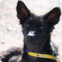 Adopt A Pet :: Sparky - Las Vegas, NV