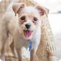 Adopt A Pet :: Hush Puppy - Houston, TX